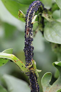 Black bean aphid (Aphis fabae) colony on Broad bean stem with Red ant searching for honeydew, UK  -  Dave Bevan