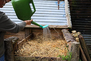 Gardener filling a compost bin, adding water to dampen the dry straw, UK  -  Dave Bevan