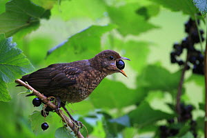 Blackbird (Turdus merula) juvenile feeding on Blackcurrant fruit (Ribes sp), UK - Dave Bevan