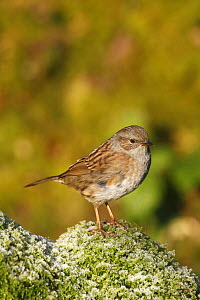 Dunnock / Hedge sparrow (Prunella modularis) perched on moss, UK  -  Dave Bevan