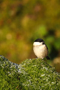 Willow tit (Poecile montanus) perched on moss, UK  -  Dave Bevan