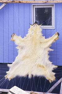 Polar bear skin {Ursus maritimus} hanging out to cure, Canadian Arctic - DOC WHITE