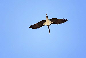 Black Stork (Ciconia nigra) in flight on migration, Tarifa, Spain, September  -  Markus Varesvuo