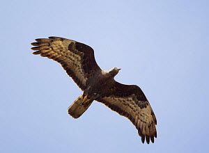 Honey buzzard (Pernis apivorus) in flight on migration, Tarifa, Spain, September - Markus Varesvuo