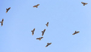 Flock of Honey buzzard (Pernis apivorus) in flight on migration, Tarifa, Spain, September - Markus Varesvuo
