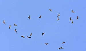 Mixed flock of Honey Buzzard (Pernis apivorus) and Black Kite (Milvus migrans) in flight on migration, Tarifa, Spain, September - Markus Varesvuo