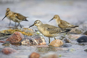 Knot (Calidris canutus) flock on shoreline, Hanko, Finland, September  -  Markus Varesvuo