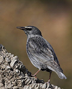 Spotless starling (Sturnus unicolor) Spain, December  -  Markus Varesvuo