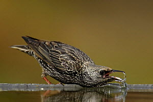 Spotless starling (Sturnus unicolor) drinking, Spain December  -  Markus Varesvuo