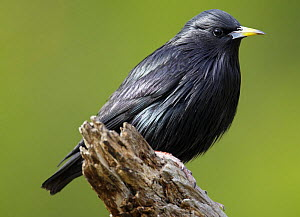 Spotless starling (Sturnus unicolor) perched, Spain, December  -  Markus Varesvuo