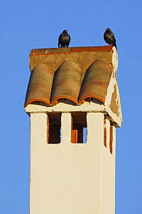 Spotless starling (Sturnus unicolor) perched on roof,  Spain, December  -  Markus Varesvuo