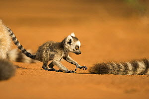 Ring-tailed Lemur (Lemur catta) infant (less than 1 month) chasing tail of adult lemur. Berenty Private Reserve, Madagascar. Oct 2008.  -  Fiona Rogers