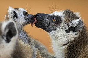 Ring-tailed Lemur (Lemur catta) male greeting infant. Berenty Private Reserve, Madagascar. Oct 2008.  -  Fiona Rogers