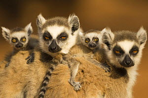 Ring-tailed Lemur (Lemur catta) females with babies less than one month riding on their backs, Berenty Private Reserve, Madagascar. Oct 2008. - Fiona Rogers