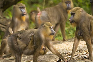 Wild female Mandrills (Mandrillus sphinx) carrying infants with horde. Gallery forest during dry season. Lope National Park, Gabon. July 2008. - Fiona Rogers