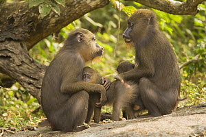 Two wild female Mandrills (Mandrillus sphinx) with infants socialising. Gallery forest during dry season. Lope National Park, Gabon. July 2008. - Fiona Rogers