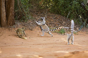 Ring-tailed Lemur (Lemur catta) female in confrontation over food with female Red-fronted Brown Lemur (Eulemur rufus)  Berenty Private Reserve, Madagascar. Oct 2008. - Anup Shah
