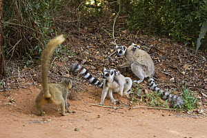 Ring-tailed Lemur female (Lemur catta) in confrontation with Red-fronted Brown Lemur female (Eulemur rufus) over food. Berenty Private Reserve, Madagascar. Oct 2008. - Anup Shah