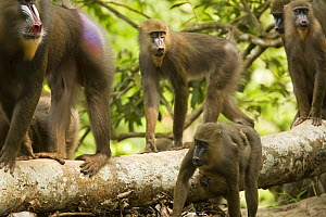 Wild Mandrill horde (Mandrillus sphinx) walking through gallery forest during dry season. Lope National Park, Gabon. July 2008. - Anup Shah