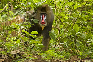 Mature Male wild Mandrill (Mandrillus sphinx) walking through gallery forest during dry season. Lope National Park, Gabon. July 2008.  -  Anup Shah