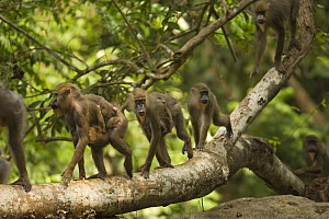 Wild Mandrill  (Mandrillus sphinx) horde including two mothers carrying babies, walking along tree branch in gallery forest during dry season. Lope National Park, Gabon. July 2008. - Anup Shah