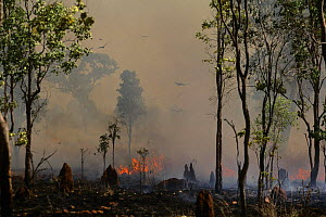 Kites (Milvus sp) catching insects in wildfire in Eucalyptus forest with termite mounds, Katherine / Nitmiluk, Northern Territory, Australia, November  -  Oriol Alamany