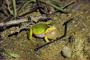 Common / European Tree Frog (Hyla arborea) male singing in a pond at night, Black Sea Coast, Turkey, July  -  Oriol Alamany