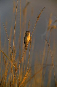 Savi's Warbler (Locustella luscinioides), male singing, Tablas de Daimiel National Park, Castilla-La Mancha, Spain, April - Oriol Alamany
