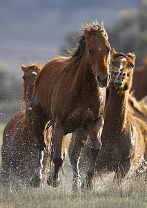 Horses running through water at Sombrero Ranch, Craig, Colorado, USA  -  Carol Walker