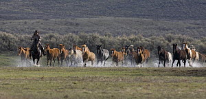 Cowboys running horses with group of horses through water at Sombrero Ranch, Craig, Colorado, USA Model released  -  Carol Walker