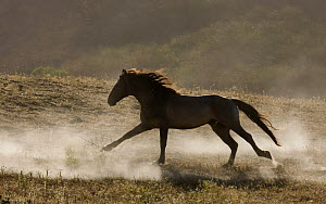 Grulla Mustang stallion running in dust at Return to Freedom Sanctuary, Lompoc, California, USA  -  Carol Walker
