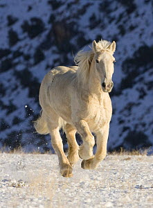 Palomino Draft horse running in the snow, Flitner Ranch, Shell, Wyoming, USA  -  Carol Walker