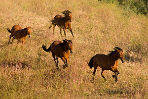 RF- Mustangs run at Return to Freedom Sanctuary, Lompoc, California, USA. - Carol Walker