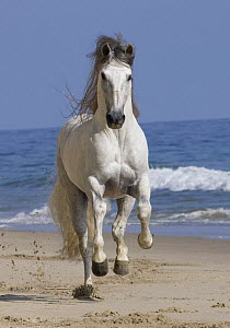 Grey Andalusian stallion running on the beach at Ojai, California, USA  -  Carol Walker