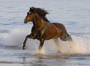 Bay Azteca stallion (Andalusian and Quarter Horse cross) running onto beach from waves, Summerland Beach, Ojai, California, USA  -  Carol Walker