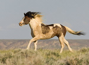 Wild Horse / Mustang, pinto stallion running, McCullough Peaks Herd Area, Cody, Wyoming, USA  -  Carol Walker