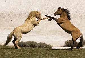 Wild horses / Mustangs, palomino and red dun stallions rearing, Pryor Mountains, Montana, USA  -  Carol Walker