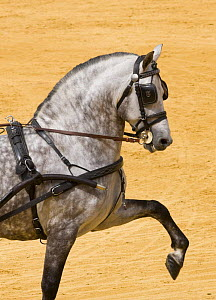 Purebred grey Andulasian stallion carriage horse, high trotting, Carriages Exhibition, Seville, Spain  -  Carol Walker