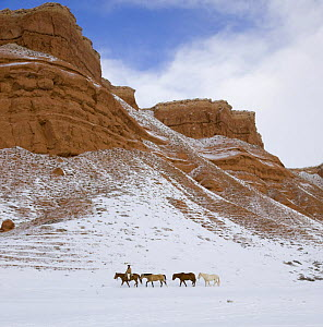 Cowboy leading Quarter horses pack train in the snow at Flitner Ranch, Shell, Wyoming, USA. Model released. - Carol Walker