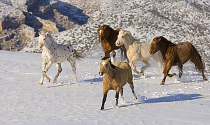 Quarter horses running in the snow at Flitner Ranch, Shell, Wyoming, USA  -  Carol Walker