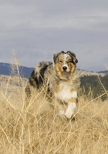 Purebred male Australian Shepherd dog, puppy in grass, Longmont, Colorado, USA - Carol Walker
