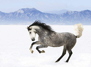 Purebred grey Andalusian mare running in the snow, Longmont, Colorado, USA  -  Carol Walker