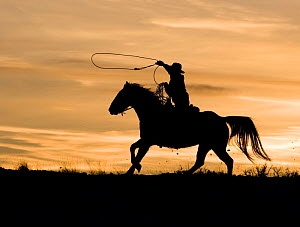 Silhouette of cowboy trotting, swinging a loop at sunset, Flitner Ranch, Shell, Wyoming, USA Model released - Carol Walker