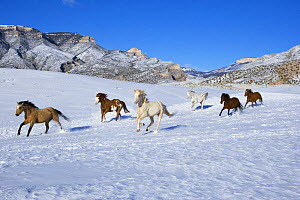 Horses run at Flitner Ranch in snow, Shell, Wyoming, USA  -  Carol Walker