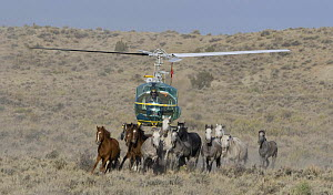 Mustangs / Wild horses running from helicopter at round-up, Sand Wash Herd Area, near Maybell, Colorado, USA - Carol Walker