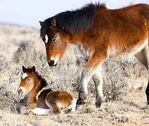 Wild Horses / Mustangs, pinto foal and pinto yearling in winter, McCullough Peaks Herd Area, Cody, Wyoming, USA  -  Carol Walker