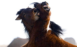 Wild Horses / Mustangs, two young bachelor stallions playing, McCullough Peaks Herd Area, Cody, Wyoming, USA  -  Carol Walker