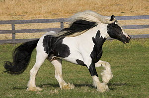 Purebred Gypsy Vanner stallion running, Ojai, California, USA  -  Carol Walker