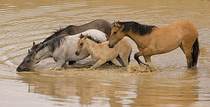 Wild horses / Mustangs, band with dun filly drinking in waterhole, Pryor Mountains, Montana, USA  -  Carol Walker