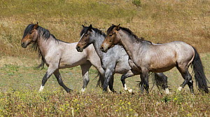 Mustangs / Wild horses, stallion and mare trotting, Return to Freedom Sanctuary, Lompoc, California, USA  -  Carol Walker